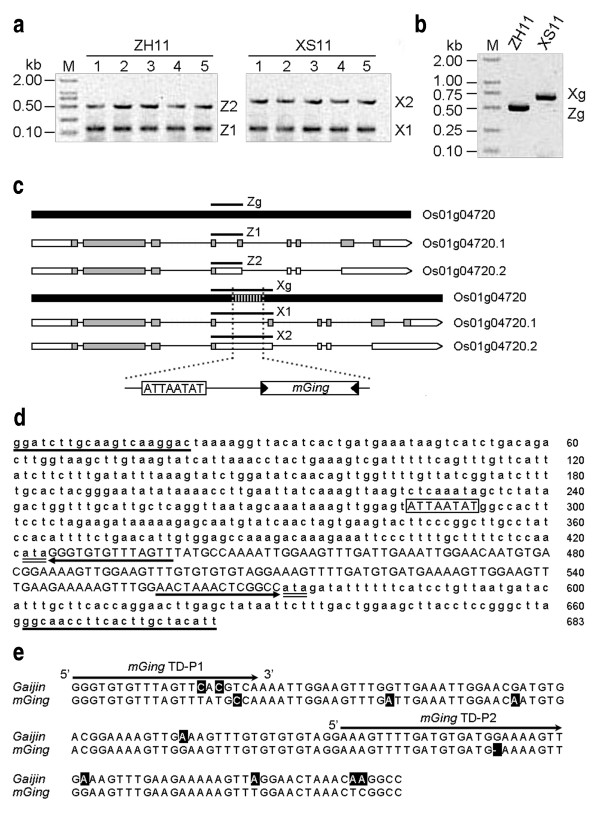 Discovery of a Gaijin -like MITE in the 4th intron of PLRRP gene . (a) Expression profile of PLRRP gene in different organs of two rice cultivars, Zhonghua 11 and Xiushui 11. RNA samples were extracted from callus (lane 1), root (lane 2), stem (lane 3), leaf (lane 4) and embryo (lane 5) and amplified by the AS primer pair. The size of the lower molecular weight RT-PCR amplicons of Zhonghua 11 (Z1) and Xiushui 11 (X1) were similar. However, the size of the higher molecular weight amplicons in Xiushui 11 ( X 2) was bigger than Zhonghua 11 (Z2). (b) DNA polymorphism of PLRRP gene. gDNAs were extracted from rice cultivars and amplified by the AS primer pair. The molecular weight of PCR amplicon from Zhonghua 11 (Zg) was smaller than Xiushui 11 (Xg). (c) PLRRP gene and its spliced mRNA transcripts. PLRRP gene (Zg, thick black lines) was composed of 9 exons (white and grey boxes) and 8 introns (thin black lines). The additional fragment at the 4th intron was indicated with vertical strip lines and the two additional fragments, 8 bp ATTAATAT fragment and a 146 bp fragment ( mGing ) were illustrated in the pictograph. Amplicons of Zhonghua 11 (Z1, Z2 and Zg) and Xiushui 11 (X1, X 2 and Xg) from part (a) and part (b) were indicated. (d) Sequence analysis of PLRRP gene in Xiushui 11. Underlines showed the AS primer pair sequences. Double-underlines and arrows indicated the ATA duplication and the TIRs, respectively. The position of ATTAATAT sequence was boxed. Capital letters revealed the 146 bp fragment. (e) Sequence alignment of mGing against Gaijin . The Gaijin sequence was obtained from Repbase. The alignment was made using the online ClustalW program with the different residue at each position highlighted. The arrows indicated the mGing TD primers.