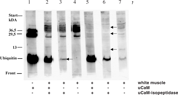 Cleavage of Ubiquitin-conjugates in the white muscle with ubiquitylprotein-Isopeptidase . Figure 8a shows the cleavage of ubiquitin-conjugates of the extract and APFII after anion-exchange chromatography from the white muscle (batch 2-7). The incubation batches contained with a final concentration of 5 μg/ml leupeptine and depending on batch 5 mM iodacetamide. All batches were incubated for 60 min in 37°C in a waterbath. The reaction was stopped by adding trichloracetic acid (final concentration 5% w/v TCA, 20 min 0°C). After centrifugation for 5 min in an Eppendorf centrifuge 5415 (Eppendorf, Hamburg) at 16000 × g the pellet was solved in sample buffer for Laemmli system and was blotted on PVDF-membrane (see Materials). Lane 1: 8.5 μg ubiquitin-calmodulin conjugates (Order 1-3) (control). Lane 2: 200 μg white muscle extract, 8.5 μg ubiquitin-calmodulin conjugates (Order 1-3) and 25 μg ubiquitylprotein-isopeptidase Lane 3: 200 μg white muscle extract and 25 μg ubiquitylprotein-isopeptidase. Lane 4: 200 μg white muscle extract and with a final concentration of 5 mM iodacetamide. Lane 5: 200 μg white muscle run-through, 8.5 μg ubiquitin-calmodulin conjugates (Order 1-3) and 25 μg ubiquitylprotein-isopeptidase. Lane 6 200 μg white muscle run-through a nd 25 μg ubiquitylprotein-isopeptidase. Lane 7: 200 μg white muscle run-through (control) and 5 mM iodacetamide.