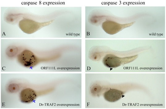 ISKNV ORF111L and zebrafish TRAF2 overexpression resulted in caspase 8 and caspase 3 upregulation. (A–B) The caspase 8 or caspase 3 expression was shown in wild type embryos by whole mount RNA in situ hybridization assay. (C–D) ISKNV ORF111L overexpression resulted in significant caspase 8 (C, arrow) and caspase 3 (D, arrow head) upregulation. (E–F) Zebrafish TRAF2 overexpression induced modest caspase 8 (E, arrow) and caspase 3 (F, arrow head) upregulation compared with those of ORF111L. All embryos shown represent the typical staining and are lateral views with anterior to the left at 3 dpf.