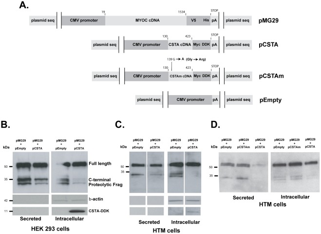 Cystatin A inhibits the processing of MYOC wild-type in cultured cells. Recombinant expression plasmids containing tag-fused full coding wild-type MYOC (pMG29), CSTA, and controls plasmids, inactive mutated CSTA (CSTAm) and pEmpty, were generated as indicated in Methods . pMG29 was co-transfected with either pCSTA, pCSTAm or pEmpty (1∶2) and harvested at 48 h post-transfection. Equivalent volumes of cell extracts and of their supernatants were loaded onto 4–15% SDS-PAGE gels, transferred to PVDF membranes and analyzed by immunoblotting. Different MYOC protein forms (full length and processed) were detected with an anti-V5 mouse monoclonal followed by an anti-mouse horseradish peroxidase antibodies. Blots were re-probed with β-actin and DDK antibodies for loading and identification controls. Percent of the MYOC processed band was calculated by densitometry. A) schematic representation of the expression cassettes of the recombinant plasmids. B, C and D: Representative western blots with extracts from transfected cells. B) extracts from HEK293 co-transfected by calcium phosphate. C and D) extracts from primary HTM-137 cells co-transfected by nucleofector electroporation.