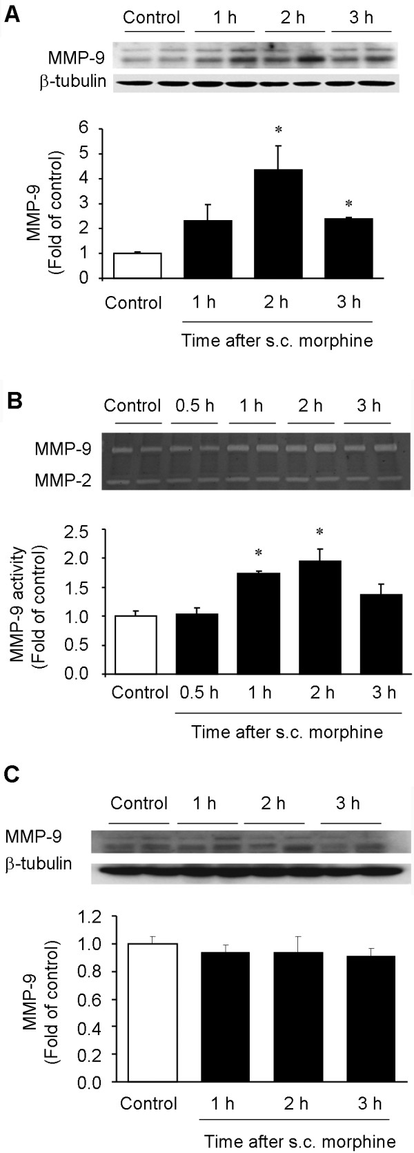 Subcutaneous morphine increases MMP-9 expression and activity in DRGs . (A) Western blotting showing the time course of MMP-9 expression in lumbar DRGs after morphine (s.c., 10 mg/kg). (B) Gelatin zymography showing the time course of MMP-9 activity in lumbar DRGs after morphine. Note that MMP-2 activity remains unchanged after morphine injection. (C) Western blotting showing the time course of MMP-9 expression in lumbar spinal cord dorsal horns after morphine (s.c., 10 mg/kg). Note that subcutaneous morphine only induces MMP-9 expression in DRGs but not spinal cords. * P