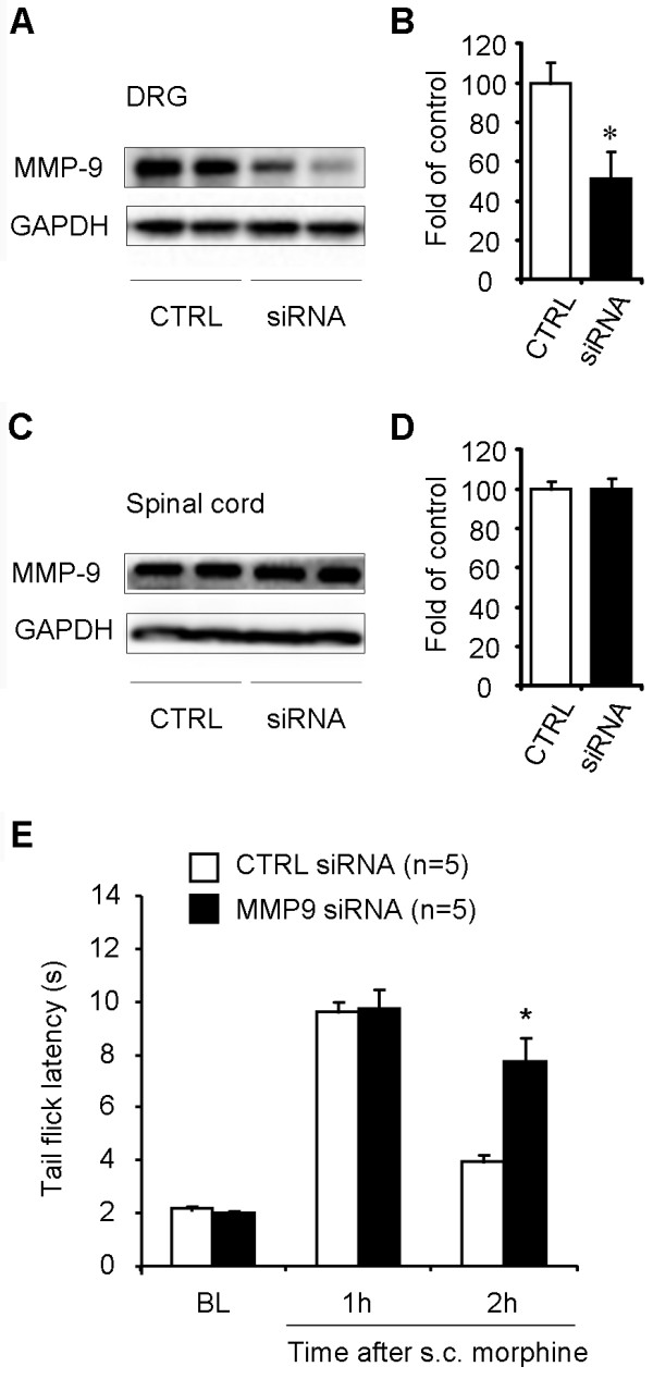 Intrathecal administration of MMP-9 siRNA reduces MMP-9 expression in DRGs and enhances morphine analgesia . (A-D) Western blotting showing MMP-9 expression in DRGs (A, B) and spinal cord dorsal horns (C, D) after intrathecal injections of MMP-9 siRNA or control siRNA (3 μg, 24 and 2 h before the s.c. morphine injection. B and D are quantification of the MMP-9 bands in DRGs (B) and spinal cords (D). * P