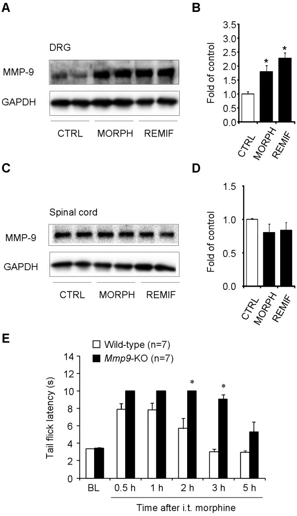 Up-regulation of MMP-9 expression in DRGs but not spinal cords after intrathecal morphine or remifentanil and potentiation of intrathecal morphine analgesia in Mmp9 deficient mice . (A-D) Western blotting showing MMP-9 expression in DRGs (A, B) and spinal cord dorsal horns (C, D) 2 h after intrathecal injection of morphine (10 nmol) or remifentanil (1 nmol). B and D are quantification of the MMP-9 bands in DRGs (B) and spinal cords (D). * P
