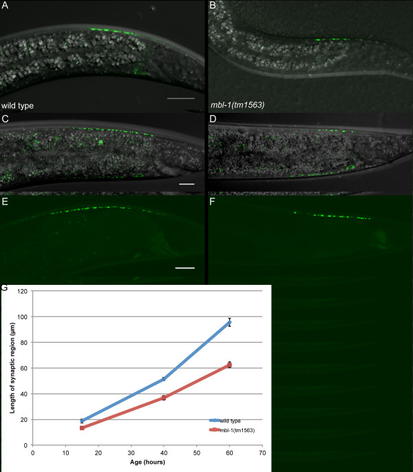 Measurement of synapse length. (A-D) Representative images of DA9 synapses labeled with SNB-1::YFP in animals that are approximately 15 hours old and at the L2 stage (A, B) and approximately 40 hours old and at the L4 stage (C, D). Transgene used is wyIs92 . (E-F) Images of GFP::RAB-3 in early-stage adult animals. Trasgene used is wyIs85 . (G) Quantification of synapse length at three stages for wild-type (blue) and mbl-1(tm1563) (red) animals.