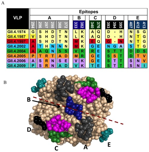 Predicted <t>GII.4</t> <t>norovirus</t> evolving blockade epitopes. Bioinformatic approaches predicted five antibody epitopes on the surface of GII.4 noroviruses that appeared to be evolving over time and to correlate with the emergence of new GII.4 outbreak strains. Panel A : Amino acid variation of Epitopes A–E by GII.4 strain. Panel B : Predicted epitopes were expanded to include interacting amino acids within 8A. Epitope A (grey), Epitope B (blue), Epitope C (green), Epitope D (black), Epitope E (teal) and HBGA binding sites (magenta) mapped onto the P domain dimer of GII.4.2002.