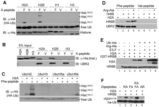 UBR2 mediates monoubiquitylation and polyubiquitylation of H2A and H2B but not H3 and H4. ( A ) In vitro ubiquitylation assay (20 µL) with 1 µg of histone H2A, H2B, H1, or H3. The reaction contains 100 ng E3-F (or E3-V) prepared from rat testes, 30 ng UbcH2, and Ub activating reagents, including 1 µg flag-Ub and 100 ng E1. E3-F and E3-V represent protein mixtures that have been captured by Phe-peptide and Val-peptide, respectively. ( B ) In vitro binding assay in which UBR2 (as a mixture with UBR1) immobilized on Phe-peptide-beads was mixed with histone H2A, H2B, or H3 in the presence of HR6B, E1, and Ub activating reagents, followed by immunoblotting of histones retained by X-peptide (X = Phe or Val). ( C ) The screening of E2s which can support E3-F-mediated ubiquitylation of H2A. In vitro ubiquitylation assays were performed as (A) with different E2s indicated above. In this screening, UbcH2 and UbcH5b showed reproducibly the E2 activity in H2A ubiquitylation. ( D – F ) Allosteric modulation, an additional E2, and synthetic ligands for UBR2. ( D ) The interaction between UBR2 and HR6B is cooperatively accelerated by H2A and Arg-Ala. UBR2 (0.2 µg) from 10 mg rat testes extracts were immobilized with Phe-peptide conjugated with beads. Precipitated E3-peptide beads were mixed with 60 ng HR6B, 1 µg H2A, and/or 2 mM Arg-Ala, followed by immunoblotting analysis. ( E ) The HR6B-H2A interaction is cooperatively facilitated by UBR2 and Arg-Ala. GST-pulldown assays were done with 200 ng GST-HR6B, 200 ng UBR2, 1 µg H2A, and/or 2 mM Arg-Ala. ( F ) UBR2-dependent H2A ubiquitylation is synergistically activated by type-1 and type-2 N-end rule ligands.