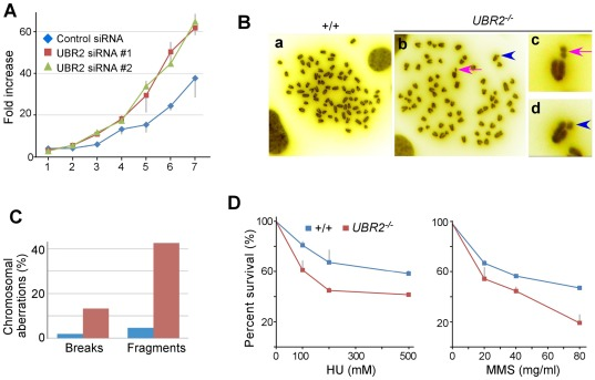 Chromosome instability and hypersensitivity to DNA damage of UBR2-deficient somatic cells. ( A ) UBR2-knockdown induces hyperproliferation in HeLa cells. ( B ) Metaphase chromosomes of UBR2 −/− MEFs show increased chromosomal aberrations, including breaks and fragmentations, compared with control cells. Arrowhead, break; Arrow, fragmentation ( C ) Quantitation of chromosomal abnormalities (breaks and fragments) observed in metaphase chromosomes from +/+ and UBR2 −/− MEFs. ( D ) UBR2 −/− MEFs are hypersensitive to hydroxyurea, or methyl methanesulfonate (Sigma).