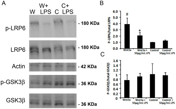 TLR4 decreases Wnt signaling at the level of the LRP6 receptor activation in Muller glia MIO-M1 cells. (A) Representative Western blots showing changes in phosphorylation status with Wnt signaling and LPS. Wnt3a conditioned media (W) increases the levels of phospho-Ser1490 LRP6 (p-LRP6) compared with control conditioned media (C). The addition of LPS reduces p-LRPS in Wnt3a treated cultures. In contrast, the amount of phospho-Ser9 in <t>GSK3β</t> is not affected by LPS. (B–C) Quantification of phospho-LRP6 and phospho-GSK3β. Twenty micrograms of total protein were loaded in each lane. The phosphorylated proteins were detected by phospho-specific antibodies and normalized to β-actin as a labeled control, and total LRP6 and GSK3β proteins were detected by antibodies that recognize both their respective phospho- and unphosphorylated forms, and normalized to β-actin. #, Wnt3a compared with control p