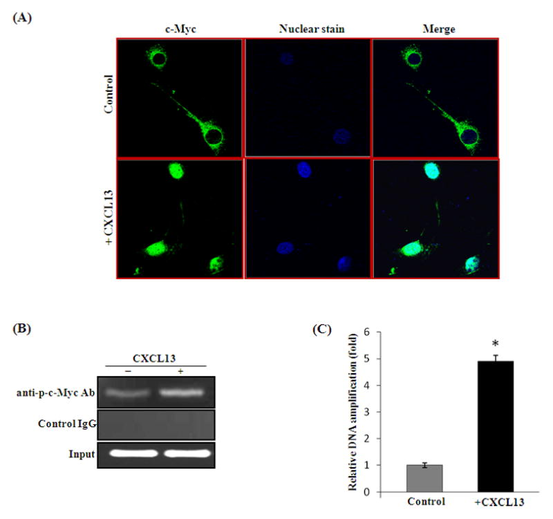 CXCL13 induces c-Myc activation in human bone marrow derived stromal cells (SAKA-T) and murine preosteoblast (MC3T3-E1) cells. (A) MC3T3-E1 cells were stimulated with CXCL13 (15 ng/ml) for 6 h and c-Myc nuclear translocation was analyzed by confocal microscopy. (B) ChIP assay for c-Myc binding to hRANKL promoter region. SAKA-T cells were stimulated with and without CXCL13 (15 ng/ml) for 6 h and ChIP assay for c-Myc binding to hRANKL promoter was performed as described in methods. (C) Quantitative real-time PCR analysis of chromatin immune complexes for p-c-Myc binding to RANKL promoter region. The DNA amplification was normalized with respect to input. Data represent triplicate studies and mean ± SD (*p