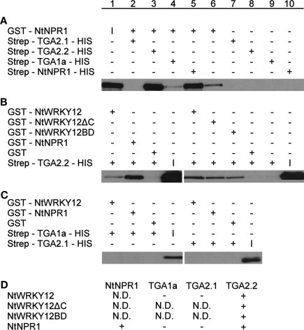 Pull-down assays of NtWRKY12, TGA1a, TGA2.1, TGA2.2, and NtNPR1 . GST-proteins were incubated with Strep/HIS purified fusion proteins and complexes were pulled down with <t>Streptactin–Sepharose</t> beads (A) or Glutathione–Sepharose <t>4B</t> beads (B,C) . After SDS-PAGE and Western blotting fusion proteins were detected with anti-GST antibodies (A) or anti-HIS antibodies (B,C) . Plus and minus signs denote the presence or absence in the incubation mixtures of the proteins indicated at the left. The input protein was loaded separately on gel and is indicated by (I). The table in (D) summarizes the results of the pull-down assays. Plus-sign, interaction, minus-sign, no interaction, N.D., not determined.