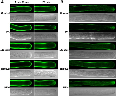 The PLD antagonist  n -ButOH and DGK inhibitor R59022 disrupt internalization of the endomembrane tracer dye FM 1-43 .  (A)  Ninety-minute-old pollen tubes were pre-incubated in germination medium on ice for 10 min, and 2 μM FM1-43 dye together with a particular drug or PA were then simultaneously added and the cells monitored for 30 min. Representative pollen tubes observed at two times are shown.  (B)  Alternatively, pollen tubes were incubated in germination medium containing 2 μM FM1-43 for 90 min, a particular drug or PA were then added for 10 min and the cells were observed with a confocal microscope. At least 15 cells were analyzed for each treatment in four independent experiments and typical examples are shown. Scale bar = 10 μm.