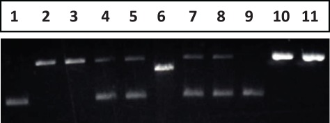 "Generation and identification of the mismatch DNA substrate . Lane 1: pWDAH1A plasmid (supercoiled DNA); Lane 2, 3: gap DNA obtained after CsCl gradient ultracentrifuge + oligo (containing ""T"" or ""IUdR"") heteroduplex, without ligation; Lane 4, 5: ligation of lane 2 and 3, gap DNA + mismatch-introducing oligo to produce G/T mismatch; Lane 6: NheI digestion of pWDAH1A plasmid; Lane 7, 8: NheI digestion of G/T- or G/IU-containing DNA; Lane 9: CsCl-method recovered mismatch DNA (G/T); Lane 10, 11: Nt. BbvCI-digested nick G/T or G/IU mismatch DNA as a DNA substrate."