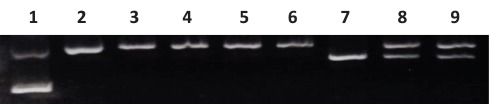 Confirmation of the mismatch DNA substrate . Lane 1: supercoiled DNA; Lane 2: Nick DNA control (Nt. BbvCI-digested); Lane 3, 4: G/T and G/IU nick DNA substrate; Lane 5, 6: NheI digestion of lane 3, 4; Lane 7: NheI digestion of pWDAH1A plasmid, linear; Lane 8: G/T nick DNA substrate + NE + proteinase K digestion, DNA extraction using ethanol + NheI digestion; Lane 9: G/IU nick DNA substrate + NE + proteinase K digestion, DNA extraction using ethanol + NheI digestion.