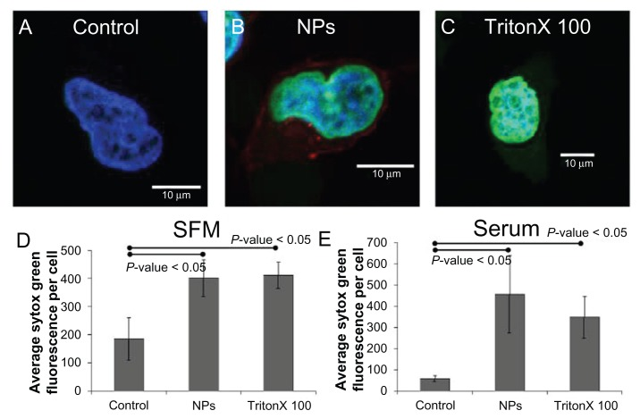 Incubation of HeLa cells in the presence of nanoparticles at 4°C in serum-free media resulted in significantly higher Sytox ® Green (Invitrogen Life Technologies, Carlsbad, CA) fluorescence than control cells. Representative images of a HeLa cell incubated with ( A ) Sytox Green, ( B ) nanoparticles and Sytox Green, and ( C ) Triton X100 and Sytox Green in serum-free media at 4°C. The average Sytox Green fluorescence per cell for control, nanoparticle-incubated, and detergent-exposed HeLa cells in ( D ) serum-free media and ( E ) serum-containing media. Abbreviations: NPs, nanoparticles; SFM, serum-free media.