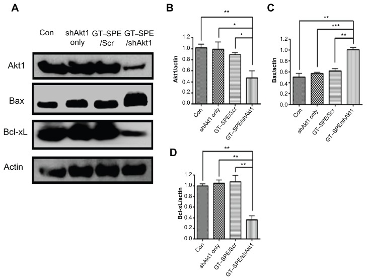 shAkt1 aerosol delivery significantly decreased Akt1 expression level and induced apoptosis. ( A ) Western blot bands. Statistical analyses of Western blot ( B ) Akt1, ( C ) Bax, and ( D ) Bcl-xL. Bands were analyzed by densitometer (n = 4, * P