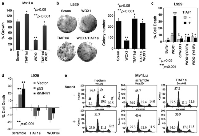 TIAF1 is essential for apoptosis mediated by WOX1, p53 and dominant-negative JNK1. ( a ) Mv1Lu cells were transfected with expression plasmid constructs of WOX1 and/or TIAF1si by electroporation, followed by culturing for 48 h. The extent of cell growth was measured by MTS proliferation assay. TIAF1 knockdown cells resisted WOX1-induced growth inhibition ( n =8; mean±S.D.; Student's t -test: experiments versus scramble controls). Scram='scrambled RNA' control plasmid. ( b ) L929 cells were transfected with WOX1 and/or TIAF1si plasmids, and then grown in soft agarose for 3 weeks to allow colony formation (measured by MTS proliferation assay) ( n =3; Student's t -test; experiments versus scramble controls). ( c ) When L929 cells were transfected with WOX1 and TIAF1 plasmids (1.25 μ g per 10 6 cells), both expressed proteins synergistically caused cell death (∼40%, n=8). Dominant-negative WOX1 (dnWOX1) 17 and phospho-WOX1 mutants (Y33R and Y61R) 17 failed to induce cell death, in the absence or presence of TIAF1 ( n =8; Student's t -test: experiments versus scramble controls). ( d ) L929 stable transfectants, expressing a scramble, TIAF1si or WOX1si construct, were established. Transient overexpression of these cells with an empty vector, p53 or dnJNK1 construct was carried out, and the extent of cell death was measured in 48 h ( n =8; Student's t -test; experiments versus scramble controls). When TIAF1 and WOX1 were knocked down, ectopic p53 and dnJNK1-induced cell death was blocked. ( e ) In contrast, when TIAF1 was knocked down, Smad4-induced apoptosis of Mv1Lu cells was enhanced (see subG1 phase; a representative data from two experiments). a , SubG1 phase; b , G0/G1 phase; c , S phase; d , G2/M phase