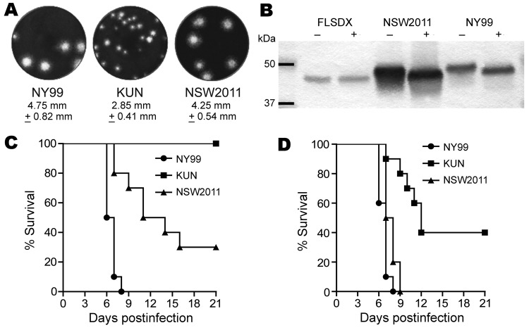 Studies of West Nile virus (WNV) properties in cell cultures and mice. A) Plaque morphology of WNV NY99 , prototype WNV KUN, and WNV NSW2011 in Vero cells. Cells in 6-well plates were infected with specified virus and overlaid with 0.75% low melting point agarose in <t>Dulbecco</t> modified minimum essential medium (Life Technologies, Carlsbad, CA, USA) containing 2% fetal bovine serum. Four days after infection, the cells were fixed with 4% formaldehyde and stained with 0.2% crystal violet. B) Assessment of envelope (E) protein glycosylation of WNV NSW2011 , WNV KUN and WNV NY99 by endoglycosidase digestion (PNGase F; Roche Diagnostics, Basel, Switzerland). Viral proteins in culture supernatant were digested by PNGase F (+) or undigested (−) and then resolved on sodium dodecyl sulfate–polyacrylamide gel electrophoresis. The migration rate of the E protein in each sample was determined by Western blot with E glycoprotein–specific monoclonal antibodies. C) Young adult (4 weeks old) or D) weanling (18–19 days old) Swiss outbred mice survival after intraperitoneal injection with 1,000 PFU (adult) or 10 PFU (weanling) of WNV NY99 , WNV KUN , or WNV NSW2011 . The mice were monitored for 21 days after injection for signs of encephalitis and then euthanized. The differences in virulence in weanling and adult mice between different pairs of viruses were all highly significant, as calculated by log rank Mantel-Cox algorithm with exact p values: for adult mice, WNV NY99 vs. WNV KUN p