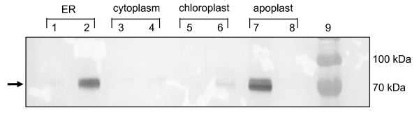 Western blot analysis of H5 and H5tr transient expression in N. benthamiana , showing accumulation in various subcellular compartments 7 days post infiltration. HA protein was detected using a primary rabbit anti-H5N1 polyclonal antibody. Crude plant extracts were analysed from plant tissue infiltrated with Agrobacterium strains carrying the following expression vectors: Lane 1, pTRAERH-H5; lane 2, pTRAERH-H5tr; lane 3, pTRAc-H5; lane 4, pTRAc-H5tr; lane 5, pTRACTP-H5; lane 6, pTRACTP-H5tr; lane 7, pTRAa-H5; lane 8, pTRAa-H5tr; lane 9, protein ladder (Fermentas). The arrow indicates the position of the H5 and H5tr proteins.