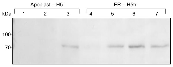 Western blot analysis showing HA expression in a representative sample of transgenic plant lines. Samples were harvested from T 3 plant lines that were transformed with pTRAa-H5 (lanes 2–4) or pTRAERH-H5tr (lanes 5–7). Lane 1, protein ladder (Fermentas).