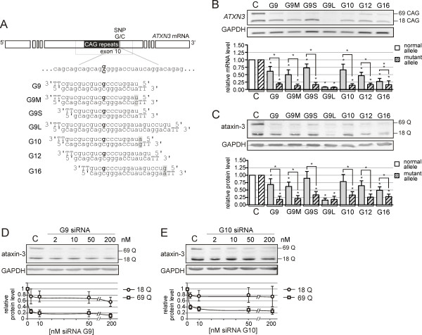The activity of siRNAs targeting SNP sites in the SCA3 model . (A) The target sites and nucleotide sequences of siRNAs directed at rs12895357 SNP in the ATXN3 gene. The nucleotide in the antisense strand of siRNA that directly targets the SNP site is marked in bold. The mismatches introduced into siRNA duplex are in gray boxes. RNA is in lowercase; DNA is in uppercase. (B) The RT-PCR analysis of ATXN3 expression at the transcript level in the SCA3 fibroblasts (GM06153) at 72 h after transfection with 50 nM siRNAs. (C) The western blot analysis of the ataxin-3 levels for the experiment described in (B). (D) The western blot analysis of the ataxin-3 levels in the SCA3 fibroblasts at 72 h after transfection with 2, 10, 50 or 200 nM siRNA G9. (E) The western blot analysis as in (D) for siRNA G10. C - the reference bar indicates the ATXN3 expression level in the cells transfected with control siRNA. In the graphs, the signal intensities were normalized to GAPDH mRNA or protein levels and compared using a one-sample t -test. The error bars represent the standard deviations. The P -value is indicated by asterisks (* p