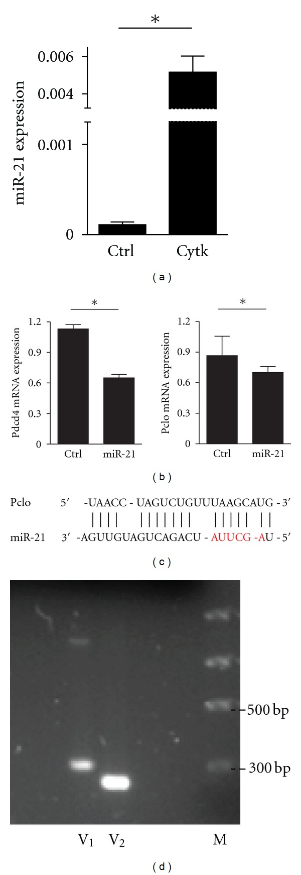 Overexpression of miR-21 regulates endogenous Pdcd4 and Pclo mRNAs. (a) MIN6 cells were treated 24 hours with cytokine cocktail IL-1 β (50 U/mL), TNF- α (2000 U/mL), and IFN γ (100 U/mL). The expression of miR-21 was assessed by <t>qRT-PCR.</t> (b) Overexpression of miR-21 mimic (300 nM) for 48 hs inhibits the expression of endogenous Pdcd4 and Pclo <t>mRNA.</t> Experiments shown in (a) and (b) are expressed as mean ± SD ( n = 5), * P