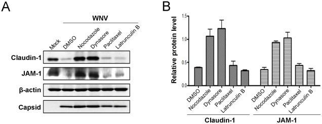 WNV-induced degradation of claudin-1 and JAM-1 requires dynamin and microtubules. A. CACO-2 cells were infected with WNV and 24 hours later were treated with nocodazole (10 µM), Dynasore (10 µM), paclitaxel (1 µM), latrunculin B (10 µM) or DMSO for a further 8 hours. The corresponding cell lysates then subjected to immunoblot analyses. B. Data from three independent experiments were used to determine the normalized levels of claudin-1 and JAM-1 (relative to β-actin).