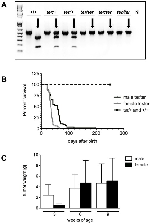 Genotyping, survival and tumor progression. ( A ) Genotyping. The ter mutation disrupts a <t>Kpn</t> I restriction site used for genotyping of the ter allele performing <t>PCR</t> amplification and restriction digest. Kpn I digest (black arrows) cleaved the PCR product of 560 bp into 380 bp and 180 bp fragments, N negative control. ( B ) Kaplan-Meyer survival analysis of male and female WKY- Dnd1 ter /Ztm rats carrying heterozygous and homozygous ter alleles compared to wild type animals. ( C ) Sizes of TGCTs and OGCTs after 3, 6 and 9 weeks of age in homozygous WKY- Dnd1 ter /Ztm rats.