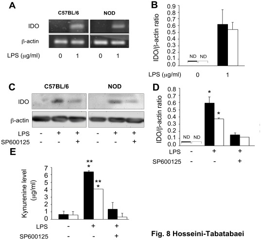 LPS-induced IDO expression in C57BL/6 and NOD dermal fibroblasts. In panels A and B, C57BL/6 (solid bars) and NOD (open bars) were treated with 0 or 1 µg of LPS from Pseudomonas aeruginosa per ml of DMEM plus 2% FBS, for 24 hours. A : RT-PCR analysis of IDO mRNA expression. B : the Mean±SEM ratio of densities of IDO to β-actin. GAPDH was used as a loading control. In panels C, D and E, cells were treated with 1 g/ml of LPS in the presence or absence of SP600125 (10 M), a JNK inhibitor, for 48 hours. C: western blot analysis of IDO expression, D: the Mean±SEM ratio of densities of IDO to β-actin. E : The Kyn levels indicate that LPS induced the expression of active IDO enzyme in NOD and C57BL/6 fibroblasts, which was mediated through JNK pathway. *denotes significant difference between cells from the same strain treated with LPS with or without SP600125 (p