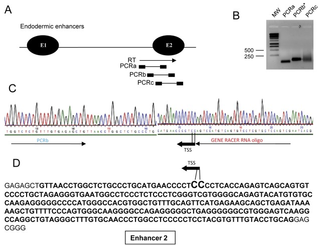 Characterisation of TSS of the endogenous mouse 91H RNA. 5′RACE experiment was performed on unpolyadenylated and capped RNA from 7 days-old mouse liver. (A) The RT Primer was designed in the mFb region ( Figure 1 ) and a band was successfully amplified by nested PCRs. The RT primer corresponds with the forward primer of PCRa and nested PCR reactions were performed using the GeneRacer DNA oligonucleotide as reverse primer. (B) Ethidium bromide staining of an agarose gel showing PCRs product obtained from amplifications indicated above (MW: Molecular Weight). Sequencing of PCRa and PCRc products showed that these bands correspond essentially to unspecific amplifications while PCRb correspond to the TSS of the 91H RNA. (C) Electrophoregram of the sequenced 5′RACE product amplified from the capped RNA fraction (PCRb). This sequence identified a unique Cap site located in the endodermic enhancer 2 at position chr7:149,755,206 or chr7:149,755,207 on mouse July 2007/ mm9 Assembly. Due to the presence of a C residue at the end of the GeneRacer RNA oligonucleotide primer and/or the possibility that the last C residue may derive from the cap of the RNA, the exact position of the TSS remains ambiguous between two consecutive C residues found in the mouse genome sequence. (D) The sequence of the endodermic enhancer 2 is indicated in bold. The position of the TSS of the 91H RNA is indicated (black arrow).