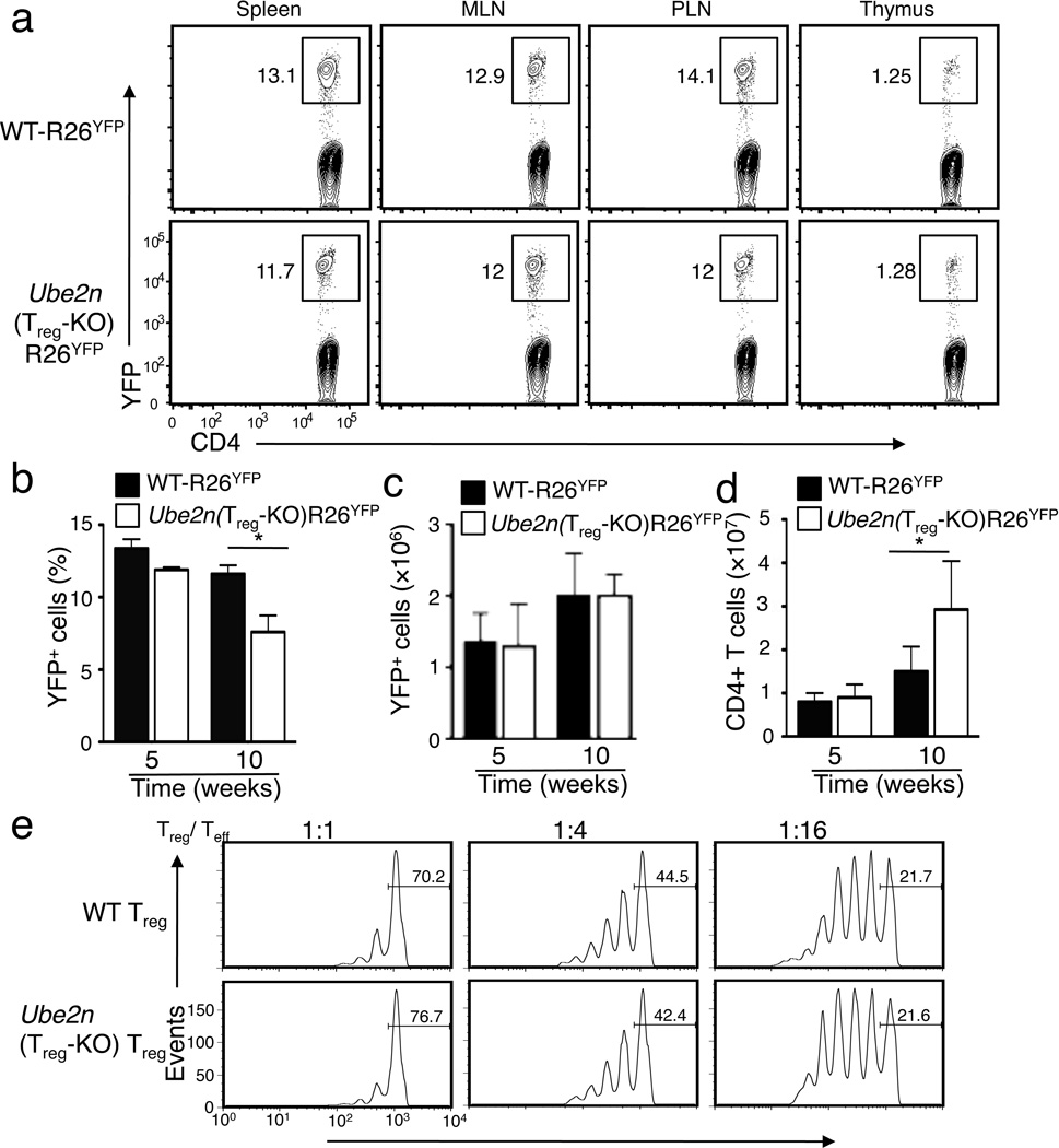 Ubc13 is dispensable for T reg homeostasis and in vitro suppressive activity ( a ) Flow cytometric analysis of the frequency of YFP + T reg cells (among CD3 + CD4 + cells) in the indicated lymphoid organs of 6 weeks old mice. Data are representative of five experiments with three mice per group. ( b–d ) Frequency ( b ) and absolute number ( c ) of YFP + cells (among CD3 + CD4 + cells) and absolute number of total CD4 + T cells (d) in the spleen of the indicated ages of mice, measured by flow cytometry and shown as the mean±SD value. *p=0.05 (n=5) (two-tailed unpaired t-test). ( e ) In vitro suppressive activity of T reg cells, measured based on the proliferation (CFSE dilution) of naïve CD4 + T cells activated by anti-CD3 plus antigen-presenting cells (irradiated CD3-depleted splenocytes from WT mice) in the presence of the indicated ratios of sorted T reg cells derived from WT or Ube2n Treg-KO mice (6 weeks old). The percentage of undivided cells is indicated.