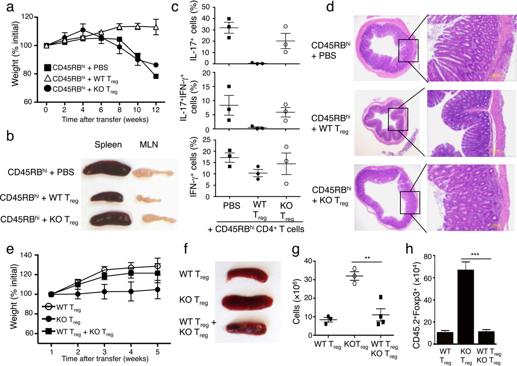 T reg -specific Ubc13 ablation impairs the in vivo immunosuppressive function of T reg cells ( a–d ) Disease phenotypes of Rag1 KO mice (6 weeks old) adoptively transferred with WT CD45.1 + congenic CD45RB hi naïve CD4 + T cells together with either PBS or sorted T reg cells derived from WT or Ube2n Treg-KO mice (6 weeks old). Bodyweight was measured at the indicated times and presented as percentage of initial weight (mean±SD) ( a ). A representative lymphoid organ picture ( b ), frequency of the indicated cytokine-producing effector CD4 + T cells in the MLN (measured by flow cytometry and gated on CD45.1 + cells) ( c ), and H E staining of colon ( d ) were obtained from recipient mice at 12 weeks after adoptive transfer. Data are from a total of three independent experiments (3 recipient mice per group in each experiment). ( e–h ) Disease phenotypes of Rag1 KO mice (5 weeks old) adoptively transferred with CD45.1 + Foxp3 + WT T reg (from B6.SJL congenic mice) and/or CD45.2 + Foxp3 + Ube2n Treg-KO (KO) T reg cells. Bodyweight was measured weekly after transfer ( e ). A representative picture of spleen ( f ), absolute number of total splenocytes ( g , presented as mean±SD value), and absolute number of CD45.2 + Foxp3 + cells from the spleen ( h , presented as the mean±SD value) were determined 5 weeks after transfer. **p=0.01 (two-tailed unpaired t-test).