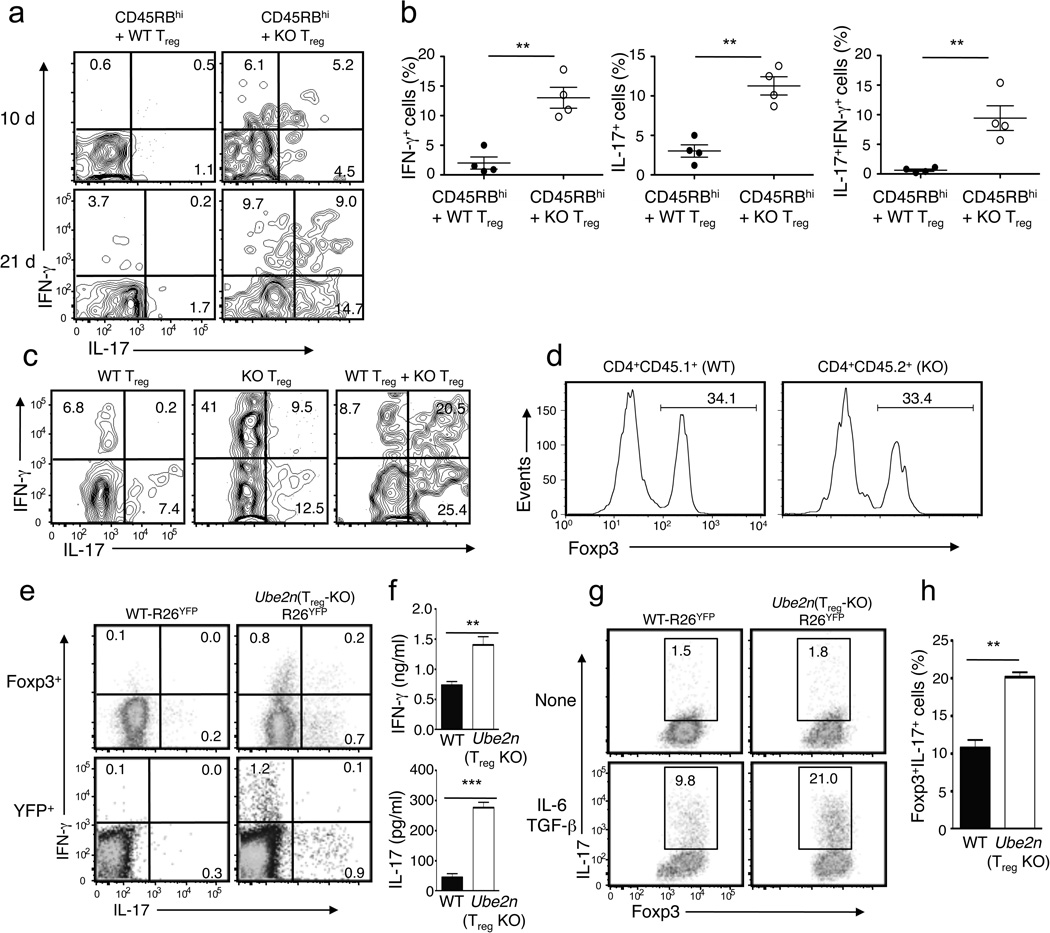 Ubc13-deficient T reg cells are sensitive to lymphopenic and inflammatory conditions for acquiring effector functions ( a, b ) Flow cytometry analysis of IL-17- and IFN-γ-producing MLN T reg cells (gated on CD45.2 + Foxp3 + <t>CD4</t> + cells) derived from Rag1 KO mice (6 weeks old) adoptively transferred, for 10 or 21 days, with WT CD45.1 + CD4 + CD25 − CD45RB hi T cells plus CD4 + YFP + T reg cells purified from WT-R26 YFP (WT) or Ube2n Treg-KO R26 YFP (KO) mice (6 weeks old, CD45.2 + ). Data are representative ( a ) or summary ( b , day 21 data only) of two independent experiments (n=3). *p=0.05. ( c ) Flow cytometry analysis of IL-17- and IFN-γ-producing MLN T reg cells (gated on CD45.2 + Foxp3 + cells) from Rag1 KO mice (5 weeks old) adoptively transferred, for 5 weeks, with CD45.1 + Foxp3 + WT and/or CD45.2 + Foxp3 + Ube2n Treg-KO (KO) T reg cells. ( d ) Flow cytometric analysis of Foxp3 expression in CD45.1 + Foxp3 + and CD45.2 + Foxp3 + T reg cells from the Rag1 KO recipients of WT plus KO T reg cells described in d . ( e ) Flow cytometry measuring the frequency of IL-17- and IFN-γ-expressing T reg cells in the spleen of 10 weeks old mice, gating on Foxp3 + or YFP + cells. ( f ) ELISA quantifying the secreted IFN-γ and IL-17 by YFP + CD4 + T reg cells (isolated from 10 weeks old mice), stimulated with PMA and ionomycin for 24 h. Data are presented as means±SD of two independent experiments. ( g, h ) Flow cytometric analysis of the frequency of Foxp3 + IL-17 + cells in sorted YFP + CD4 + T reg cells, derived from the indicated mice (6 weeks old) and activated in the absence or presence of TGF-β and IL-6. Data are representative ( e ) or summary ( f ) of four independent experiments (n=3). **p=0.01.