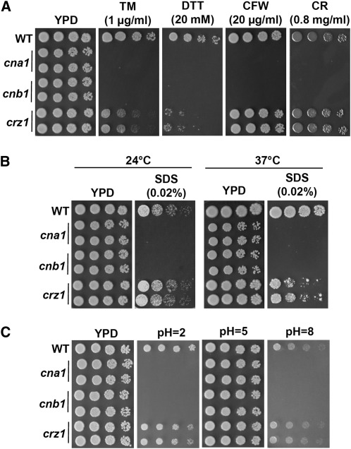 Calcineurin controls ER stress tolerance, cell wall integrity, and pH homeostasis in C. glabrata . (A) Calcineurin mutants are hypersensitive to ER stress chemicals and cell wall integrity-damaging agents. Cells were grown overnight in YPD at 24°, 5-fold serially diluted, and spotted onto YPD medium containing tunicamycin (TM), dithiothreitol (DTT), calcofluor white (CFW), or Congo red (CR), and incubated at 24° for 48 hr. (B) Calcineurin and crz1 mutants are hypersensitive to the cell membrane integrity-damaging agent sodium dodecyl sulfate (SDS). Cells were grown overnight in YPD at 24°, 5-fold serially diluted, and spotted onto YPD medium containing SDS and incubated at indicated temperatures for 48 hr. (C) Calcineurin is required for growth at acidic and alkaline environments. Cells were grown overnight in YPD at 24°, 5-fold serially diluted, and spotted onto YPD medium containing 150 mM HEPES buffered at pH 2 or 5. For pH 8 medium, YPD was buffered with 150 mM pH 9 HEPES (85 ml of YPD plus 15 ml of 1M HEPES at pH 9) due to slightly acidic YPD medium. The pHs of solid media were confirmed with pH indicator strips.