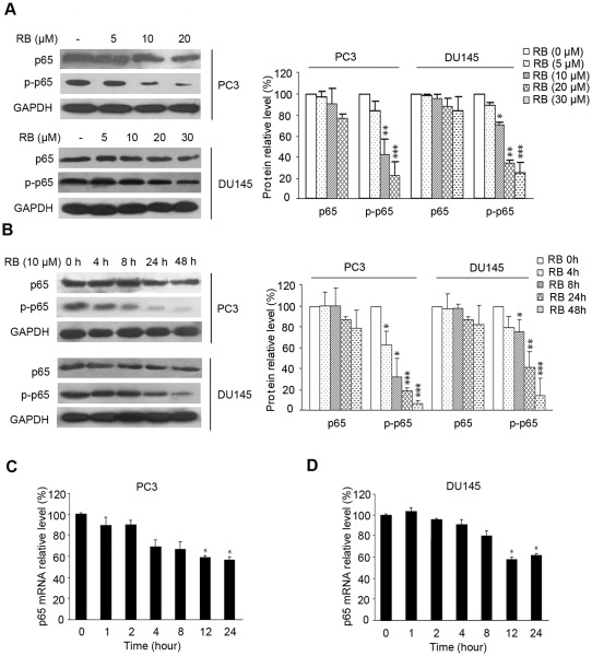 The effect of RB on p65 expression and phosphorylation in PCa cells. (A) and (B) RB slightly inhibited expression of p65 in PC3 and DU145 cells, while significantly for the Ser-536 phosphorylation of p65 ( p–p65 ), in both dosage-dependent and time-dependent manner. Lysates from whole cells treated with RB of different concentrations for 24 h (A) or with 10 µM RB for indicated times were used for western blot (B). GAPDH served as the loading control. Protein amount was normalized to the amount of GAPDH, and was quantified by densitometry of X-ray films. Results of one of at least three independent experiments are shown. (C) and (D) RB moderately down-regulated p65 mRNA level in PC3 and DU145 cells as detected by QRT-PCR assay. The procedure was performed as described in Materials and Methods . Results shown are representatives of three independent experiments, p
