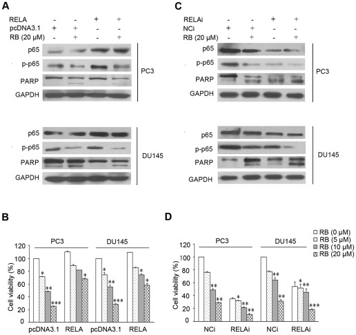 RELA is involved in RB-induced apoptotic cell death. (A) and (B) RELA overexpression by transfection of a RELA expression vector partially abolished cytotoxicity in PC3 and DU145 cells. Cells were transfected with siRNA of RELA (RELAi) or with a negative control siRNA (NCi), using a 50 nmol/L final siRNA concentration. After 48 h transfection for RELA overexpression, the effect of RB on p65, p–p65, and PARP expression in RELA transfected cells was determined by western blot; cell viability was also determined after additional exposure for 24 h to RB. (C) and (D) Silencing of RELA expression by siRNA increased cytotoxicity induced by RB. Similar procedure was performed for the studies on RELA. The details are described in Material and Methods . In (A) and (C), the protein levels of p65 and p–p65 were normalized with GAPDH. Results shown are representatives of three independent experiments. In (B) and (D), p