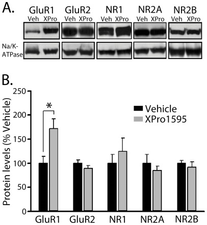 Effects of XPro1595 on glutamate receptor protein levels. A, Representative Western blots are shown for AMPA receptor (GluR1 and GluR2) and NMDA receptor subtypes (NR1, NR2A, and NR2B) in hippocampal membrane fractions from aged (22 month) rats treated for four weeks (intraventricular delivery) with vehicle or XPro1595 (0.08 mg/kg/day). The Na/K-ATPase loading control is shown below. B, XPro1595 treatment resulted in a selective increase in GluR1 levels (* p