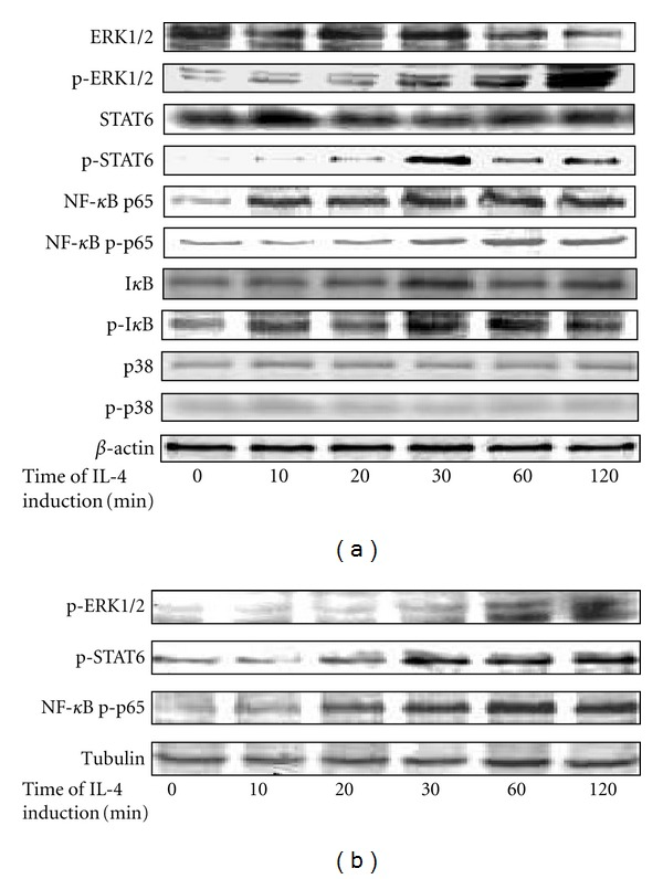 """Phosphorylation of kinase and factors over time in the signaling pathways within 120 min in IL-4-induced THP-1 cells. (a), the cytoplasmic levels of protein kinase and phosphorylated kinase in the signaling pathways. (b), the concentration of phosphorylated protein kinase in the nucleus over time. Protein kinase with """"p"""" means phosphorylated protein kinase."""