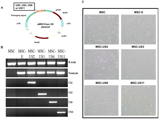Generation of US-transduced MSC. (A) HCMV US2, US3, US6 and US11 cDNA sequences were cloned into the pMSCVneo plasmid between EcoRI and XhoI or Sal-I. US genes were driven by the MSCV LTR promoter while the Neomycin resistance marker gene (NeoR) was under the control of an internal PGK promoter. (B) Total RNA was extracted from each of the transduced and untransduced MSC populations and, after reverse transcription, cDNAs were obtained and amplified using specific primers for each of the US genes, NeoR and B-Actin. (C) Light microscope image at 10× original magnification of the different MSC populations showing similar morphology during cell culture. Images were captured with an Olympus IX-71 microscope.