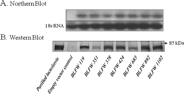 Expression of lactoferrin in seven T 8 transgenic wheat lines determined by Northern blot (A) and Western blot (B) analyses using two top leaves and inflorescences at growth stage Feekes 10.5 . Northern blot: Total RNA from transgenic and control plants were hybridized with a 32 P-labeled lactoferrin cDNA probe. 18s RNA was used as a loading control. Western blot: Immunodetection of lactoferrin protein in transgenic wheat plants using a polyclonal antibody reagent. Lane PC, purified lactoferrin protein; lane C, control wheat plant, lane 1-7 transgenic wheat lines: BLFW 119, 351, 378, 424, 685, 892 and 1102. Position of 85 kDa molecular weight marker is shown with an arrow on the right.