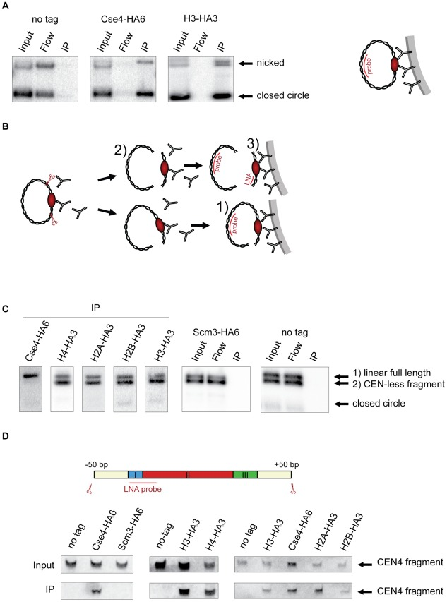 Composition of the centromeric nucleosome. A) The CEN-containing minichromosomes can be specifically co-immunoprecipitated with Cse4 and H3. Lysates from strains transformed with the minichromosomes 1021 (wt), 1498 (Cse4-HA6) and 1407 (H3-HA3) were incubated with anti-HA antibody and Dynabeads. DNA was eluted off the beads and separated on a 1% agarose gel. Southern blot was analyzed using a 32 P labeled TRP1 probe. The map of the minichromosome is shown in Figure S1 . B) Experimental setup for the immunoprecipitation of minichromosomes digested with restriction enzyme. Chromatin is digested with BglII and incubated with anti-HA antibody recognizing tagged histones and protein A Dynabeads. Minichromosome digest with BglII produces three different fragments: a linearized full-length minichromosome (1), a CEN-less fragment (2) which can be detected with TRP1 probe and a small CEN fragment (3) which can be detected with an LNA oligonucleotide. The red ellipse is depicting the centromeric nucleosome. C) Cse4 binding is restricted to minichromosomal CEN DNA. BglII-treated chromatin of strains carrying the minichromosome with BglII restriction sites 50 bp upstream and downstream of CEN boundaries was immunoprecipitated with anti-HA antibody. The strains were 1498 (Cse4-HA6), 1577 (H4-HA3), 1576 (H2A-HA3), 1587 (H2B-HA3), 1407 (H3-HA3), 1593 (Scm3-HA6), and 1021 (wt). DNA was analyzed as in (A) with 32 P labeled TRP1 probe. D) H3 is associated with the CEN DNA. Top: Scheme of the excised CEN fragment. Double-DIG labeled LNA probe for CDEI/II is indicated. Bottom: Immunoprecipitated DNA from experiments shown in (C) was separated on a 6% denaturing TBE polyacrylamide gel. Southern blot was analyzed using a double-DIG labeled LNA probe for CDEI/II. Western blots showing immunoprecipitation of the tagged proteins are shown in Figure S4A .