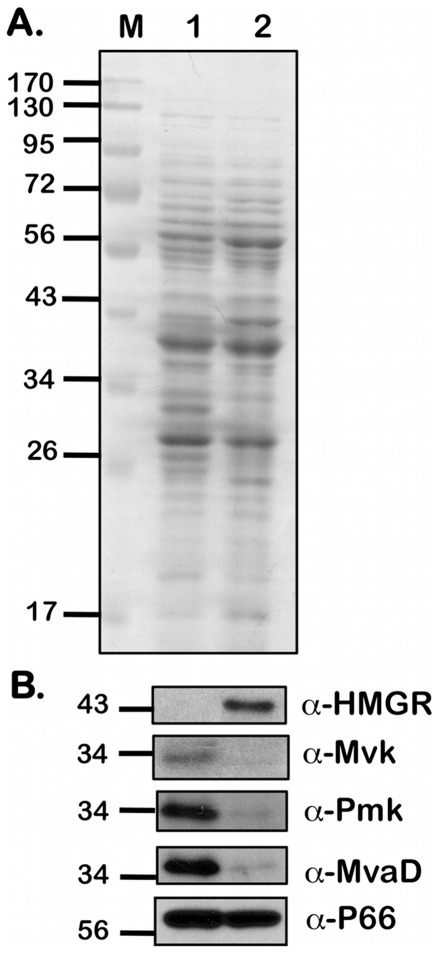 Levels of proteins of the MP in B. burgdorferi . Equivalent number of spirochetes from B. burgdorferi strain B31-A3 propagated in BSK-II medium with 6% NRS under conditions that either mimicked the unfed-tick (pH 7.6/23°C; Lane 1) or fed-tick (pH 6.8/37°C; Lane 2) to a density of 5 × 10 7 spirochetes/ml were resolved by SDS-12.5%PAGE. Gels were stained with Coomassie blue (A) or separated proteins were electrotransfered onto PVDF membranes. (B) Immunoblots were incubated with mouse serum against purified HMGR, MvaD, Pmk, Mvk and P66 respectively. Blots were developed using the Enhanced Chemiluminescence system. Numbers to the left of the panels indicate the molecular mass standards in kilodaltons proximate to each of the antigens. Higher levels of HMGR expression were seen under fed-tick conditions when compared to unfed-tick conditions while the other three proteins showed higher levels of expression under unfed-tick conditions when compared to fed-tick conditions.