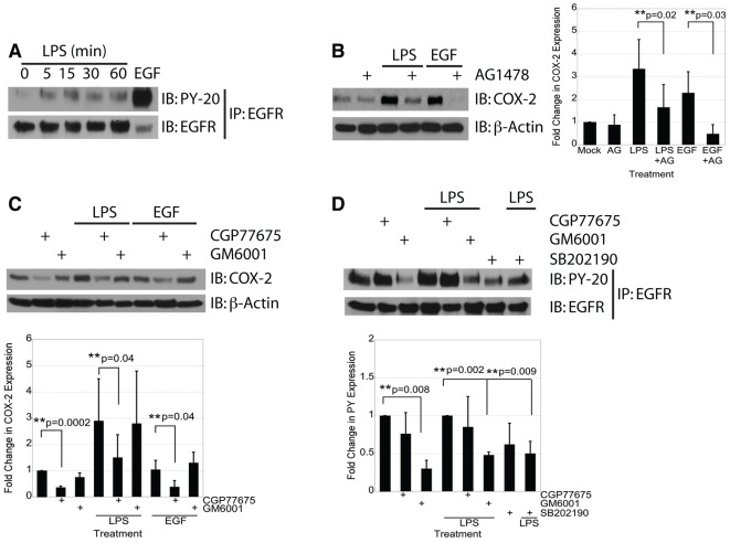 Transactivation of EGFR by LPS induces COX-2 expression in IEC-6 cells in an MMP- and p38-dependent fashion. A) IEC-6 cells were treated with LPS (2 µg/mL) for the indicated time or with EGF (10 ng/mL) for 5 minutes. EGFR immunoprecipitates were assayed for P-EGFR by Western blot analysis. B) Western blot analysis of cells treated with LPS (2 µg/mL) or EGF (10 ng/mL) for 24 hours in the presence or absence of the EGFR kinase inhibitor AG1478 (1 µM). C) IEC-6 cells were stimulated with LPS (2 µg/mL) for 24 hours in the presence or absence of the Src family kinase inhibitor CGP77675 (2 µM) or the MMP inhibitor GM6001 (50 µM). D) IEC-6 cells were stimulated with LPS (2 µg/mL) for 15 minutes in the presence or absence of CGP77675 (2 µM), GM6001 (50 µM), or p38 MAPK inhibitor SB202190 (10 µM). Single asterisks indicate significant differences from control. Double asterisks indicate significant differences between two bracketed conditions.