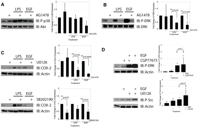 ERK and Src, but not p38, are required for EGFR-mediated induction of COX-2. A) IEC-6 cells were treated with LPS (2 µg/mL) for 15 minutes or with EGF (10 ng/mL) for 5 minutes in the presence or absence of the EGFR kinase inhibitor AG1478 (1 µM). Western blot analysis of P-p38 MAPK showed no significant difference in p38 activation in the presence of EGFR inhibition. B) IEC-6 cells stimulated with LPS (2 µg/mL) for 15 minutes or with EGF (10 ng/mL) for 5 minutes in the presence or absence of AG1478 (1 µM). C) IEC-6 cells were treated with LPS (2 µg/mL) for 24 hours or with EGF (10 ng/mL) for 5 minutes in the presence or absence of the ERK1/2 inhibitor U0126 (10 µM) or the p38 inhibitor SB202190 (10 µM) as shown, and COX-2 expression was determined using Western blot analysis. D) IEC-6 cells were treated with EGF (10 ng/mL) for 5 minutes in the presence or absence of the Src family kinase inhibitor CGP77675 (2 µM) and analyzed for P-ERK activation using Western blot analysis. Src inhibition had no effect on EGF-induced P-ERK (p = 0.7). IEC-6 cells were also treated with EGF (10 ng/mL) for 5 minutes in the presence or absence of the ERK kinase inhibitor U1026 (10 µM) and analyzed for P-Src activation using Western blot analysis. ERK inhibition had no effect on EGF-induced P-Src activation (p = 0.17). Single asterisks indicate significant differences from control. Double asterisks indicate significant differences between two bracketed conditions.