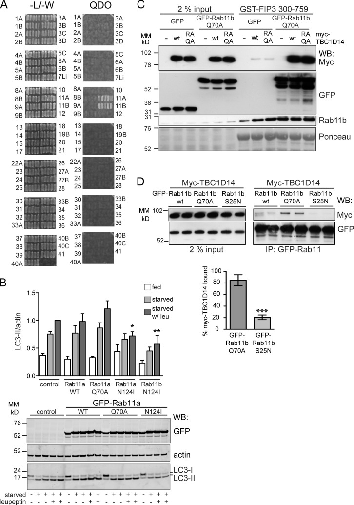 TBC1D14 binds Rab11, and inactive Rab11 inhibits autophagy. (A) Yeast two-hybrid screen to identify Rab-binding partners of TBC1D14. Yeast were transfected with the active (QA) Rab constructs (prey) and TBC1D14R472A (bait) and selected on plates lacking leucine and tryptophan (−L/−W) and medium lacking leucine, tryptophan, histidine, and adenine (QDO). Five colonies for each Rab were streaked on selective media. (B) HEK293A cells were transfected with GFP-tagged Rab11 constructs, 11aWT, 11aQ70A, 11aN124I, and 11bN124I and, 24 h later, fed or starved for 2 h. Western blot of a representative experiment with anti-GFP, anti-LC3, and antiactin and quantification of LC3-II/actin. n ≥ 3; one-way ANOVA followed by Bonferroni posttest analysis comparing to the vector control are starved with leupeptin (leu) versus Rab11aN124I starved with leupeptin: *, P