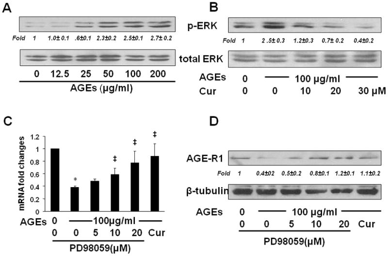 The inhibition of ERK activity diminished the effect of AGEs and induced gene expression of AGE-R1 in cultured HSCs ( A B ) Serum-starved HSCs were treated with AGEs at indicated doses in serum-depleted media for 30 minutes with or without the pretreatment with curcumin (0–30 μM) for 1 hr. Whole cell extracts were prepared for analyzing levels of phosphorylated ERK by Western blotting analyses. Total ERK was used as an internal control for equal loading. Italic numbers beneath blots were fold changes (mean ± s. d., n=3) in the densities of the bands compared with the control without treatment in the blot, after normalization with the internal invariable control. Representatives were from three independent experiments. ( C D ) Serum-starved HSCs were pretreated with or without the selective ERK inhibitor PD98059 (0–20 μM) or curcumin (20 μM) for 1 hr prior to the exposure to AGEs (100 μg/ml) for additional 24 hr. Total RNA and whole cell extracts were prepared from the cells. ( C ) real-time PCR assays. Values were presented as mRNA fold changes (mean ± s. d., n=3). * p
