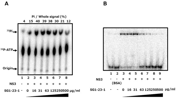 "Effect of SG1-23-1 on ATPase and RNA-binding activities of NS3 helicase.( A ) The reaction mixtures were incubated with [γ- 32 P] <t>ATP</t> as described in Materials and Methods. The reaction mixtures were subjected to thin-layer chromatography. The start positions and migrated positions of ATP and free phosphoric acid are indicated as ""Origin"", "" 32 P-ATP"", and "" 32 P-Pi"", respectively, on the left side of this figure. The data represent three independent experiments. ( B ) Gel mobility shift assay for RNA-binding activity of NS3 helicase. The reaction was carried out at the indicated concentration of SG1-23-1. The reaction mixture was subjected to gel mobility shift assay. The data represent three independent experiments."