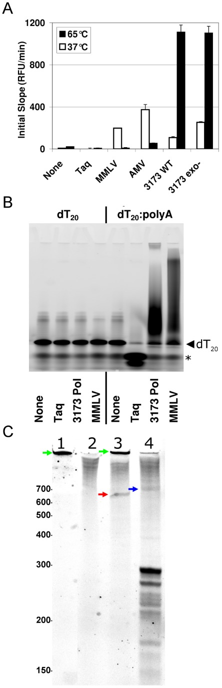 Reverse transcriptase assays. A. Fluorogenic assay. RT activity was measured by detection of RNA:DNA heteroduplex by fluorescence of EvaGreen binding. Oligo dT primed poly A was incubated at 37°C and 65°C in the presence of indicated Pol enzymes in manufacturer recommended buffers and dTTP. Fluorescence measurements were obtained every 6 seconds for 10 minutes. The initial slopes from a plot of RFU vs. time in seconds were determined by linear least square regression from 30 to 150 seconds at 37°C and from 30 to 90 seconds at 65°C. Error bars are standard error of regression slope. B. RT primer extension assay. HEX-labeled dT 20 primed poly A was incubated 10 minutes at 37°C and then 10 minutes at 65°C in the presence of indicated Pol enzymes and dTTP in manufacturer recommended buffers. Primer extension products were resolved by 10% denaturing PAGE and imaged on a Molecular Imager FX (Bio-Rad). Left facing triangle indicates migration of unextended dT20 primer and asterisk indicates bromophenol blue dye front. C. RT MS2-specific primer extension. 5′-labeled primer was annealed to MS2 RNA and incubated 10 minutes at 37°C and then 30 minutes at 65°C in the presence of indicated Pol enzymes with dNTPS (N = A,C,G,T) in manufacturer recommended buffers. Primer extension products were resolved by 5% denaturing PAGE. Lane 1 No <t>RNA+MMLV</t> RT; Lane 2: MS2 RNA No RT; Lane 3 MS2 RNA+MMLV RT, Lane 3 MS2 <t>RNA+3173</t> Pol. Molecular weight in bases indicted. Red Arrow: ∼650 base MMLV extension product. Blue Arrow: ∼715 base PyroScript extension product. Green arrow: Non-templated MMLV reaction product.