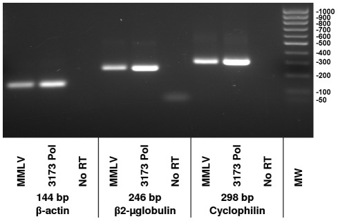 RT-PCR detection of human transcript RNAs. Beta-actin, beta2-microglobulin and cyclophilin target sequences of the indicated sizes were amplified from human liver total RNA using the primers described in Table 1 . Shown are products of two step reactions where either MMLV RT or 3173 Pol were used for first strand cDNA synthesis, as indicated. Taq Pol was used for PCR. Products were resolved on a 1% agarose gel.