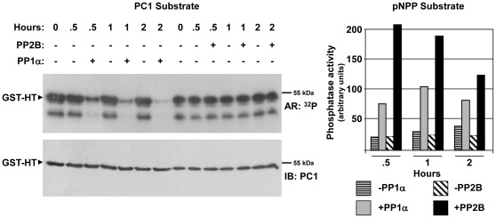 Dephosphorylation of PC1 by PP1α. To determine whether PP1α can dephosphorylate PKA-phosphorylated PC1, a GST-PC1 C-tail fusion protein (GST-HT 193 ) was purified from bacteria, bound to GSH-agarose beads, and phosphorylated by PKA with [γ- 32 P]ATP. Unincorporated 32 P was removed by washing the fusion protein with an excess of cold ATP in PP1α or PP2B reaction buffer. The radiolabeled protein was then incubated in the presence or absence of purified, recombinant PP1α or PP2B (calcineurin) for 0–2 h. Aliquots of the reaction were removed and tested for phosphatase activity against the generic substrate p-nitrophenyl phosphate (pNPP) or frozen on dry ice in 1× SDS-PAGE sample buffer to terminate the phosphatase reaction. Terminated reactions were resolved by SDS-PAGE, and phosphorylated fusion protein was detected first by autoradiography (AR) followed by immunoblotting.