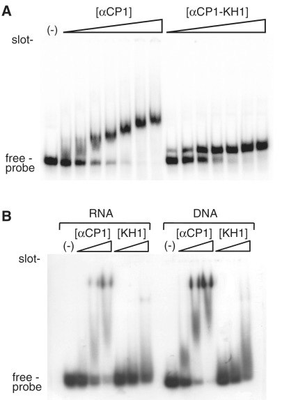 Binding of αCP1 and αCP1–KH1 to oligonucleotides representing the UC-rich region of androgen receptor 3′-UTR. ( A ) A mobility shift assay, run on a 5% PAA/0.5 × TBE gel is shown. 5′-end labelled RNA was incubated either alone (−) or in the presence of purified αCP1 or αCP1–KH1 as indicated above the gel. The probe comprises a total of 107-nt RNA containing vector sequences and nucleotides 3275–3325 of the androgen receptor mRNA. Increasing protein concentrations are indicated by a wedge and are, from the left: 1 × 10 −8 M, 2 × 10 −8 M, 5 × 10 −8 M, 1 × 10 −7 M, 2 × 10 −7 M, 5 × 10 −7 M or 1 × 10 −6 M for both proteins. In all cases, RNA concentration is 1 × 10 −8 M. All lanes also contained 1 μg yeast tRNA added as a non-specific competitor. ( B ) A mobility shift assay, run on a 10% PAA/0.5 × TBE gel is shown. 5′ = -end labelled 11-mer RNA or DNA was incubated either alone (−) or in the presence of purified αCP1 or αCP1–KH1 as indicated above the gel. Probe sequences are: RNA: 5′-UUCCCUCCCUA; DNA: 5′-TTCCCTCCCTA. Increasing protein concentrations are indicated by a wedge and are, from the left: for αCP 1, 1 × 10 −7 M, 3 × 10 −7 M and 1 × 10 −6 M; for αCP1–KH1, 1 × 10 −6 M, 3 × 10 −6 M and 1 × 10 −5 M. In all cases, RNA or DNA concentration is 1 × 10 −7 M. All lanes also contained 1 μg yeast tRNA added as a non-specific competitor.